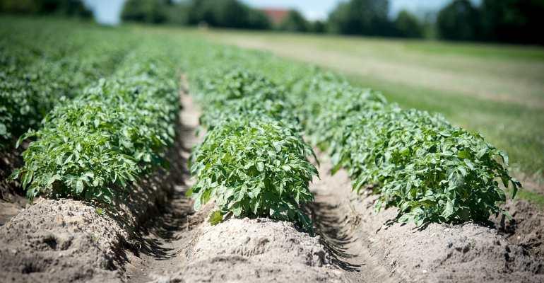 Кого касается запрет на выращивание картошки на даче в 2019 году?