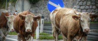 ДТП с коровой – судебная практика