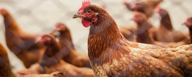 Введен ли запрет на содержание кур на даче в 2021 году?